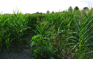 07/06/12, Drought corn