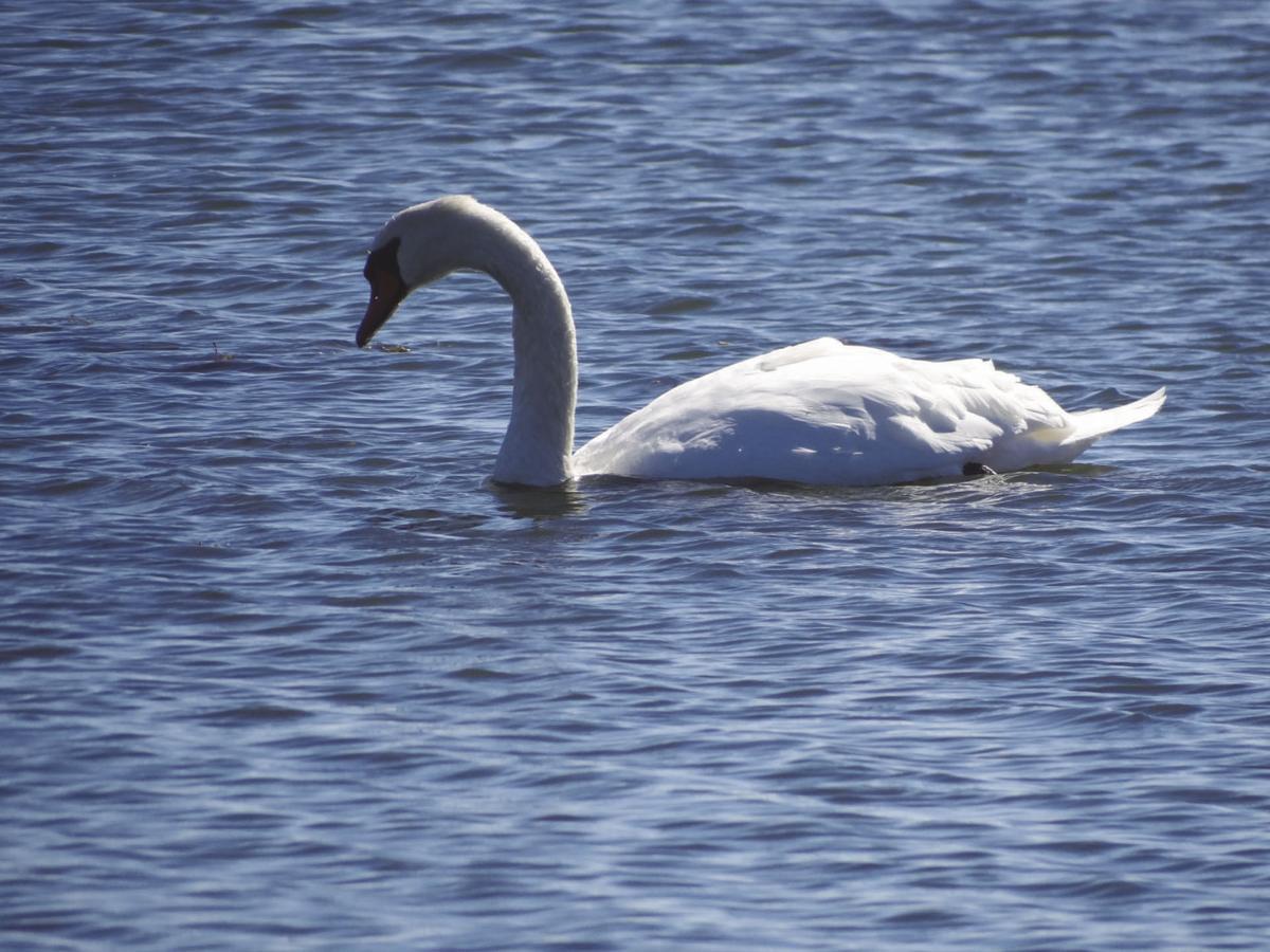Friends of Animals challenges DEM on mute swans