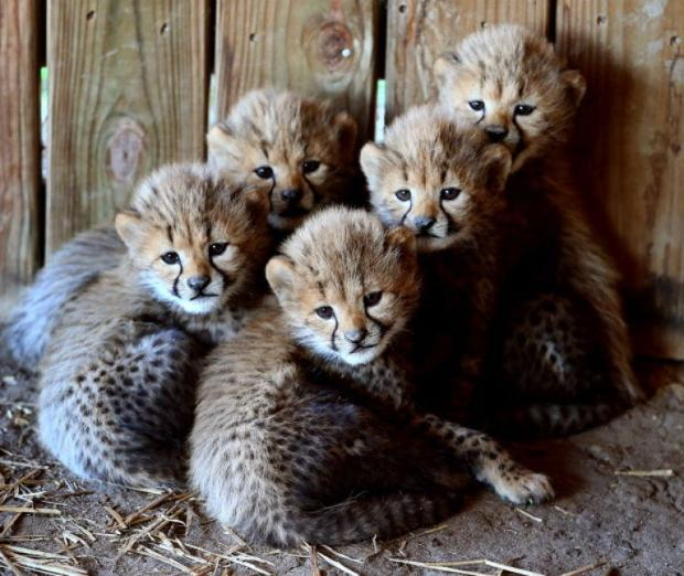 ... of metro richmond zoo perform weekly checkups on the baby cheetahs