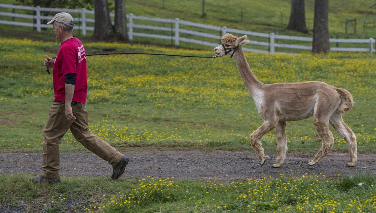 Alpacas ready for spring with annual shearing virginia for Alpacas view farm cuisine