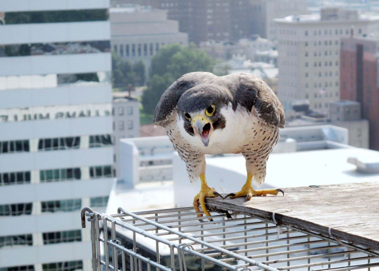 Richmond's falcons over the years | Photos | richmond.com