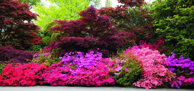 Down to earth azaleas and rhododendrons are bloomin for How to care for rhododendrons after blooming