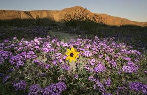 California desert wildflowers draw admirers