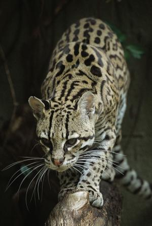 Federal recovery plan meant to help rare ocelots in Texas