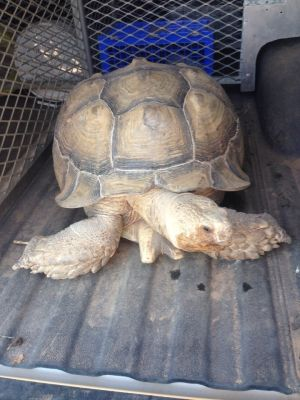 Escaped tortoise hampers traffic on Old Santa Fe Trail