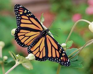 Monarch butterflies will have three new waystops in northwestern New Mexico