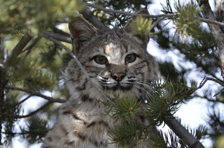 Bobcats raised at Wildlife Center released on Glorieta Mesa