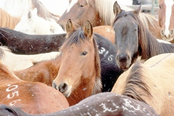 Modern-day mustang whisperer could have answers for BLM's horse dilemma