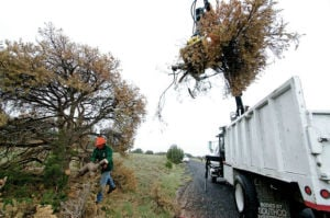 Beetles' resurgence threatens area piñon trees