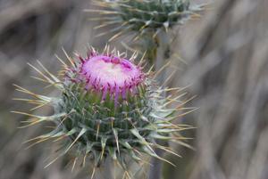 New Mexico Thistle