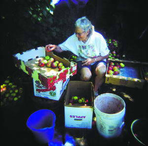 Evelyn Salce Curtis Losack sorting apples