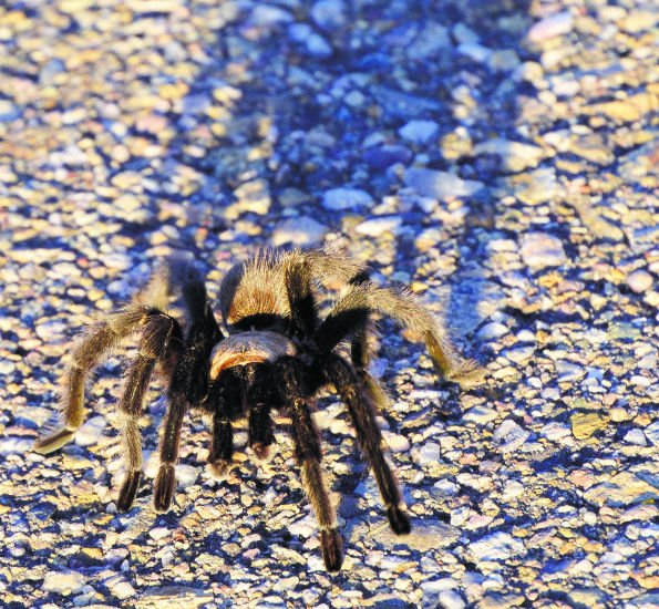 Mating season sends male tarantulas on the prowl across county