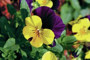 Santa Fe in Bloom: Pansies a good bet for early planting