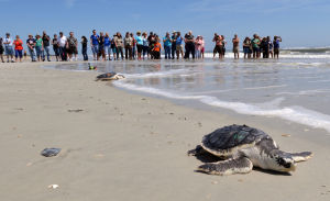 <p>In this April 22, 2014 file photo, a group of people watch a turtle swim to the ocean after rehabilitation Tuesday, April 22, 2014, in Jacksonville, Fla. The Obama Administration is opening the Eastern Seaboard to offshore oil exploration for the first time in decades. The announcement made Friday, July 18, 2014, also approved the use of sonic cannons to map the ocean floor to identify new oil and gas deposits in federal waters from Florida to Delaware. The sonic cannons pose real dangers for whales, fish and sea turtles. Bob Mack/The Florida Times-Union</p>