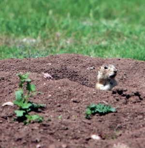 City's $559,000 bill for prarie dog relocation evokes mixed response