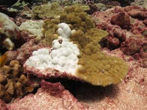 Scientists blame El Niño, warming for 'gruesome' coral death