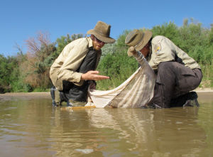 Endangered fish salvaged along drying Rio Grande