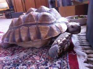 Police return tortoise to its caretakers after it was reported stolen