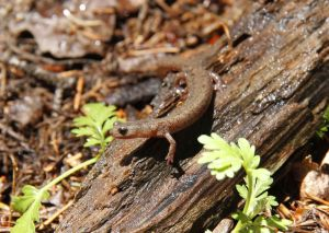 Scientists unearth oldest known member of elusive, endangered salamander species