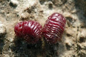 Better Red The Centuries Old Appeal Of Cochineal