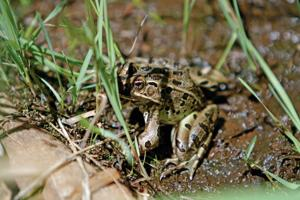 Struggling frog species starting to thrive in restored wetlands at Santa Fe Canyon Preserve