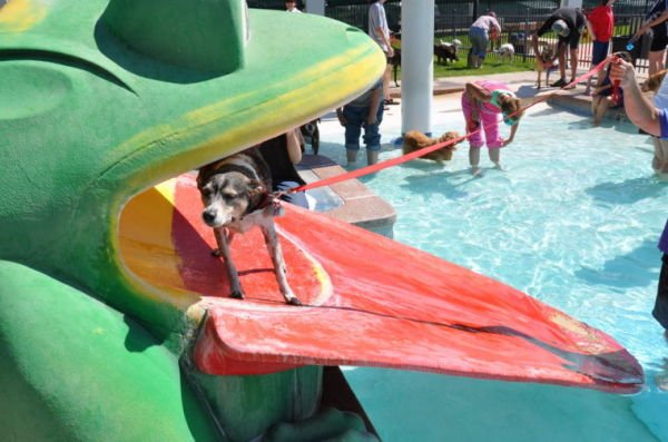 <p>More than 150 dogs of all breeds and ages participated in the first-ever Doggy Dip at Bicentennial Pool on Saturday. Courtesy photo</p>