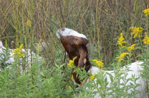 Goat eats invasive plants at River Bend Nature Center