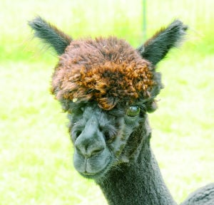 Northfield farms take part in 2014 National Alpaca Farm Days