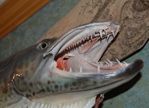 A powerful fish predator