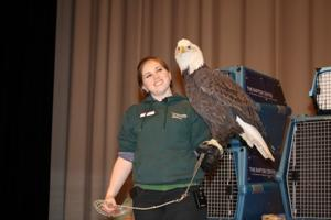 Bald eagle at Bluebird Expo