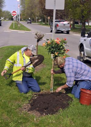 Planting the tree roses