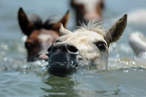 The annual Chincoteague pony swim