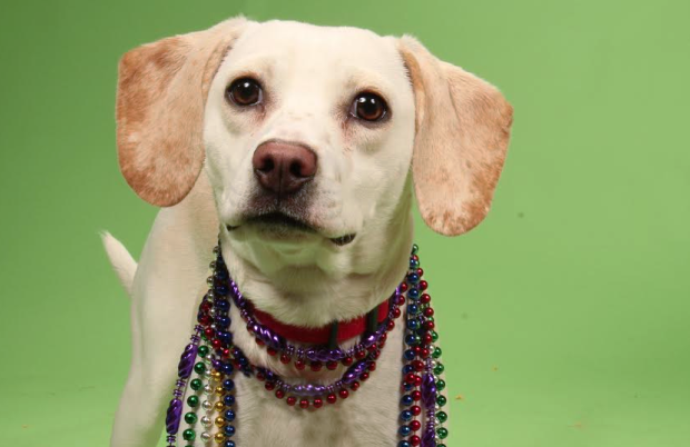Help Bitsy the Beagle mix find a home