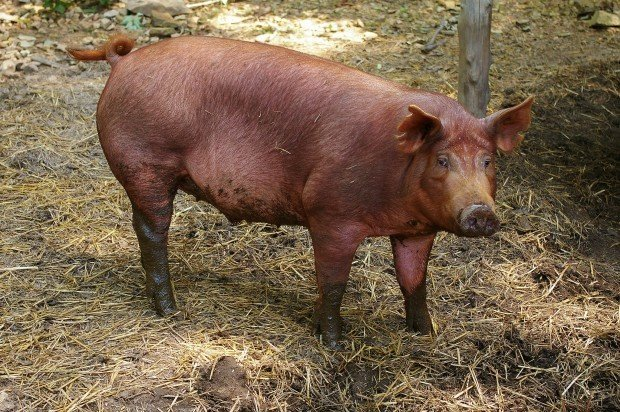 Biosecurity - Mini Pig Info