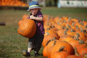 Pumpkin harvest won't set records, but there will be plenty to go around