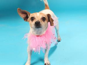 Pet of the Week: Timone, a chihuahua