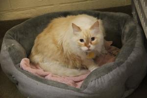 Pet of the Week: Louie, a Siamese mix