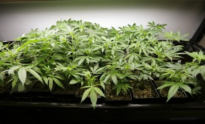 Does Missouri's 'right to farm' amendment mean you can grow marijuana in the basement?