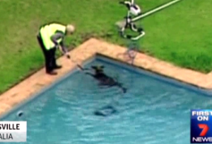 Raw Video: Kangaroo rescued from swimming pool