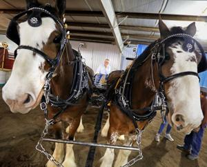 Scenes from the National Clydesdale Sale