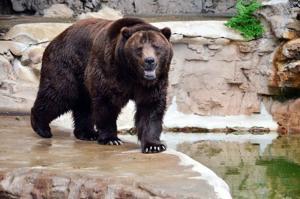 St. Louis Zoo's grizzly bear, Bert, dies