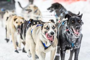 Mush! A new course for this year's Iditarod