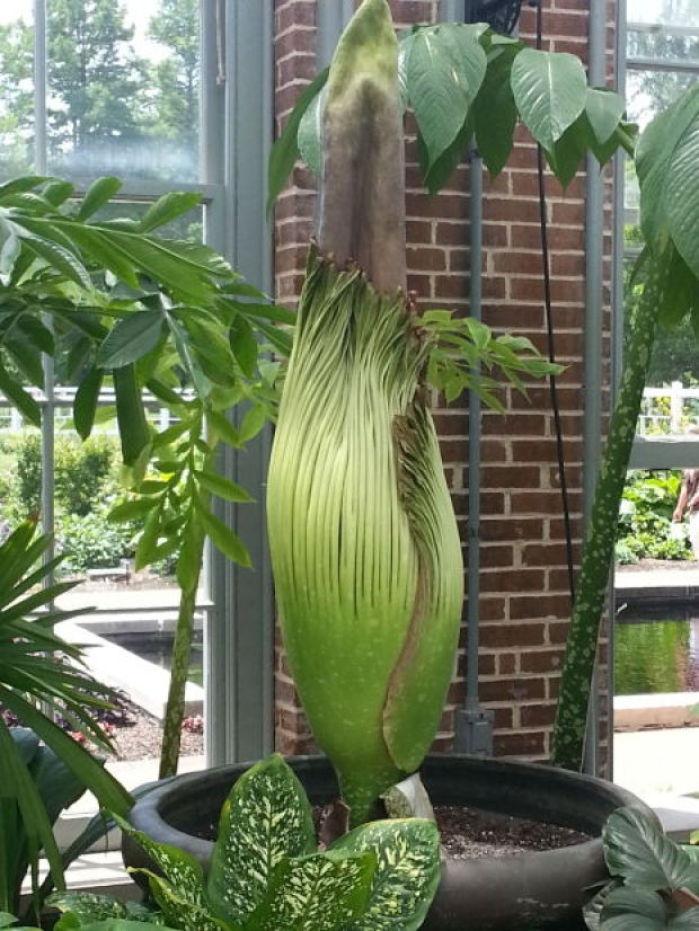 39 Corpse Flower 39 Blooms At Missouri Botanical Garden News