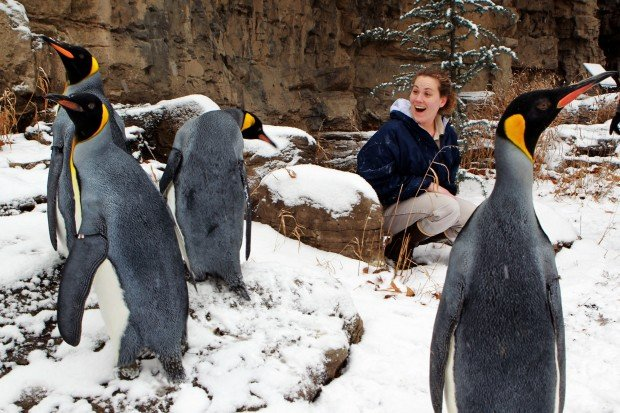 Penguins walk in the snow at the St. Louis Zoo