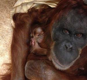It's a girl   baby orangutan born at St. Louis Zoo