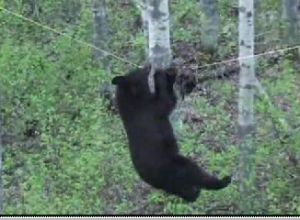 Must see: Hungry bear goes out on a wire for snack