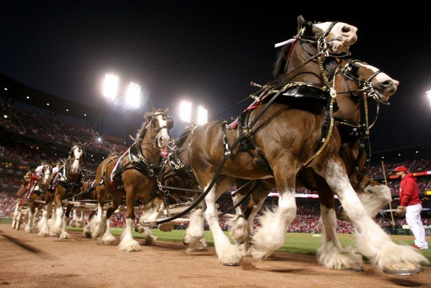 The Anheuser Busch Clydesdales Through The Years Gallery