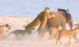 Watch a baby elephant fight off 14 lions