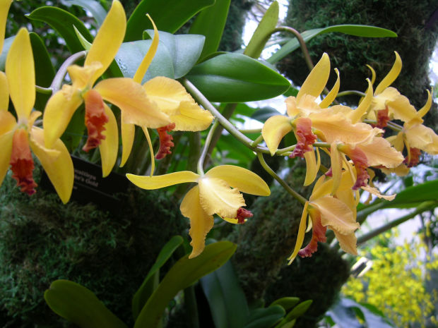 Show At Missouri Botanical Garden Will Feature 500 Orchids Entertainment