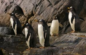 Welcome back! Zoo's penguins are ready to see you again